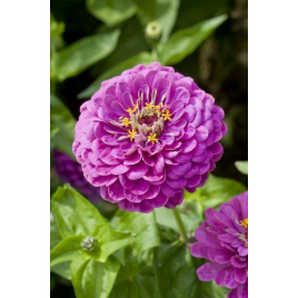 Rézvirág - Lilaherceg
