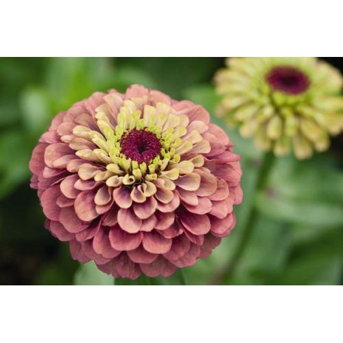 Rézvirág - Rózsaszínpúder