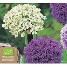 Nagyvirágú Díszhagyma MIX - 100% BIO Virághagyma
