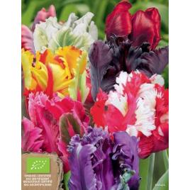 Papagájvirágú Tulipán MIX - 100% BIO Virághagyma