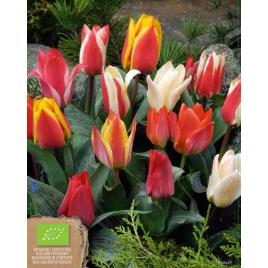 Botanikai (Greigii) Tulipán MIX - 100% BIO Virághagyma