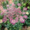 Ammi Majus - Rózsaszín