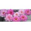 Pillangóvirág - Rózsa