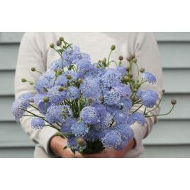 Didiscus - Kék