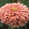 Rézvirág - Lazac