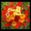 Virágmag Kollekció - Ehető Nyári Mix