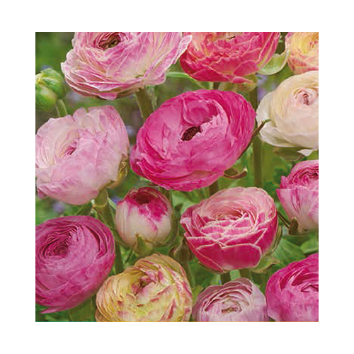 Fehér - Rózsaszín Boglárka