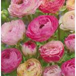 Rózsaszín - Fehér Boglárka