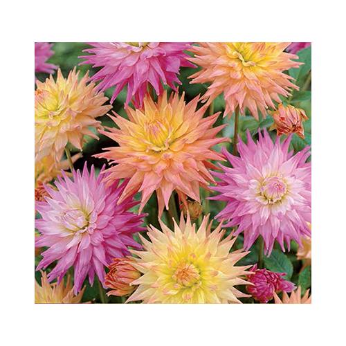 Pasztell Kaktusz Dália MIX