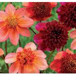 Ragyogó Szellőrózsa Virágzatú Dália MIX