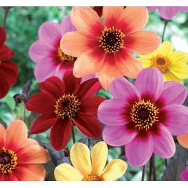 Szellőrózsa Virágzatú Dália MIX