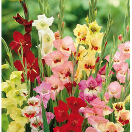 Pillangó Kardvirág mix