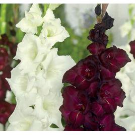 Fekete - Fehér Kardvirág Mix
