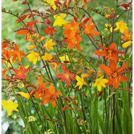 Crocosmia / Sáfrányvirág Mix