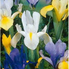 Holland Írisz Virághagyma Mix