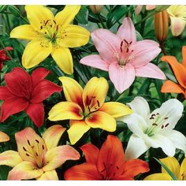 Liliom 'Asiatic' - Pasztel színekben