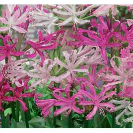 Fehér & Rózsaszín Nerine