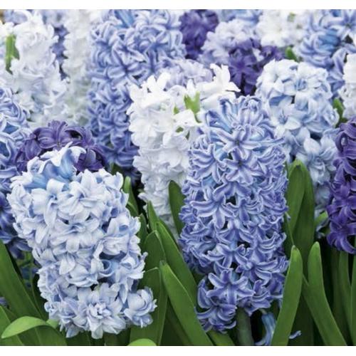 Kék-Fehér Jácint Mix