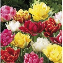Korai Teltvirágú Tulipán Mix