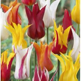 Liliomvirágú Tulipán Mix