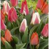 Botanikai Tulipán Mix