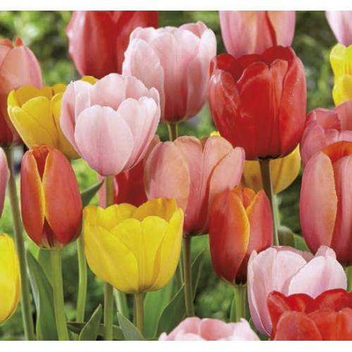 Darwin Hibrid Tulipán Mix