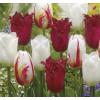 Piros és Fehér Tulipán Virághagyma Mix