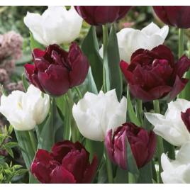 Káprázatos Tulipán Virághagyma Mix
