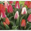 Botanikai (Greigii) Tulipán Mix