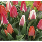Botanikai (Greigii) Tulipán Virághagyma Mix