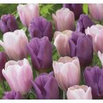 Macaron Tulipán Virághagyma Mix