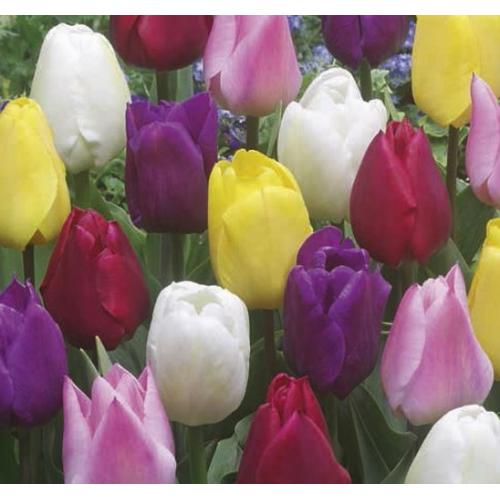 Triumph Tulipán Mix