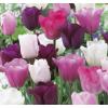 Pasztell Tulipán Mix