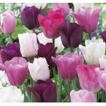 Pasztell Tulipán Virághagyma Mix