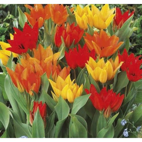 Sokvirágú Tulipán Mix