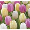Sorbet Tulipán Virághagyma Mix