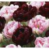 Édes vágy - Tulipán Virághagyma Mix