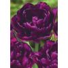 Korai Karnevál Tulipán Kollekció