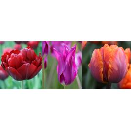 Késői Bársony Tulipán Kollekció