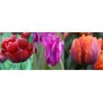 Késői Bársony - Tulipán Kollekció