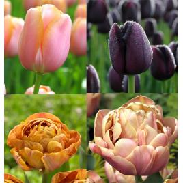 Selymes Konyak - Tulipán Kollekció