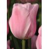 Vintage Tulipán Kollekció