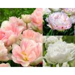 Pünkösdirózsa Tulipán Kollekció