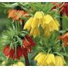 Császárkorona (Fritillaria imperialis)