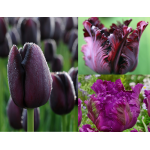 Sötét Szirmok - Tulipán Kollekció