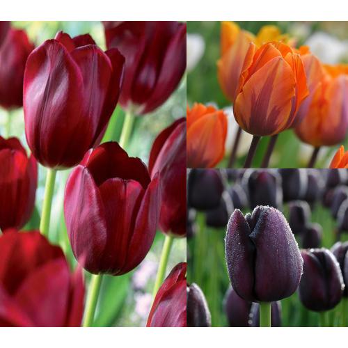 Velence Bársonya - Tulipán Kollekció