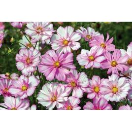 Pillangóvirág - Rózsaszín Gallér