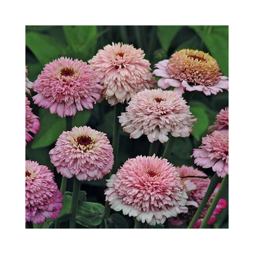 Rézvirág - Lila Zinderella
