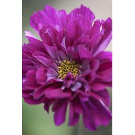 Pillangóvirág - Áfonya