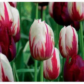 Vörös és Fehér Tulipán Mix